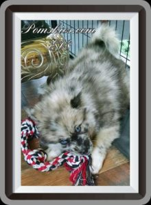 Pomsky Puppies For Sale In Texas : Pomskies