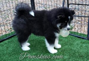 Pomsky Puppies For Sale In Mn Pomskies