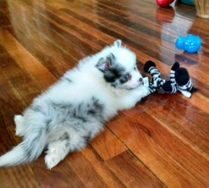 Pomsky Puppy Playing
