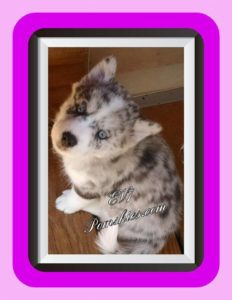 Pomsky Puppies For Sale In MN : Pomskies